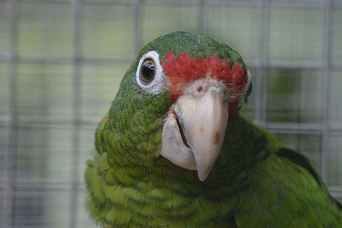 09_15_puerto_rican_parrot_2