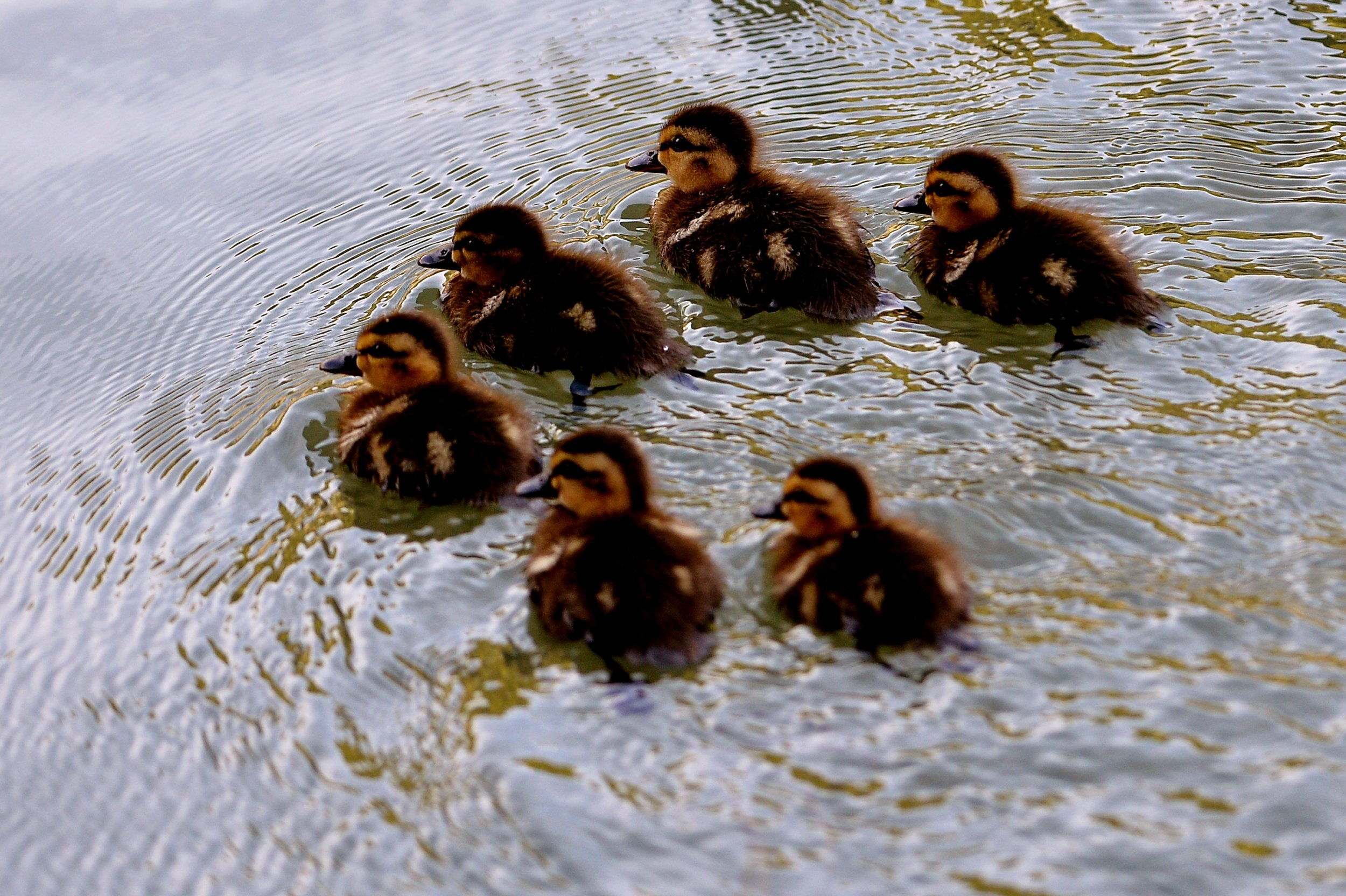 09_20_ducklings
