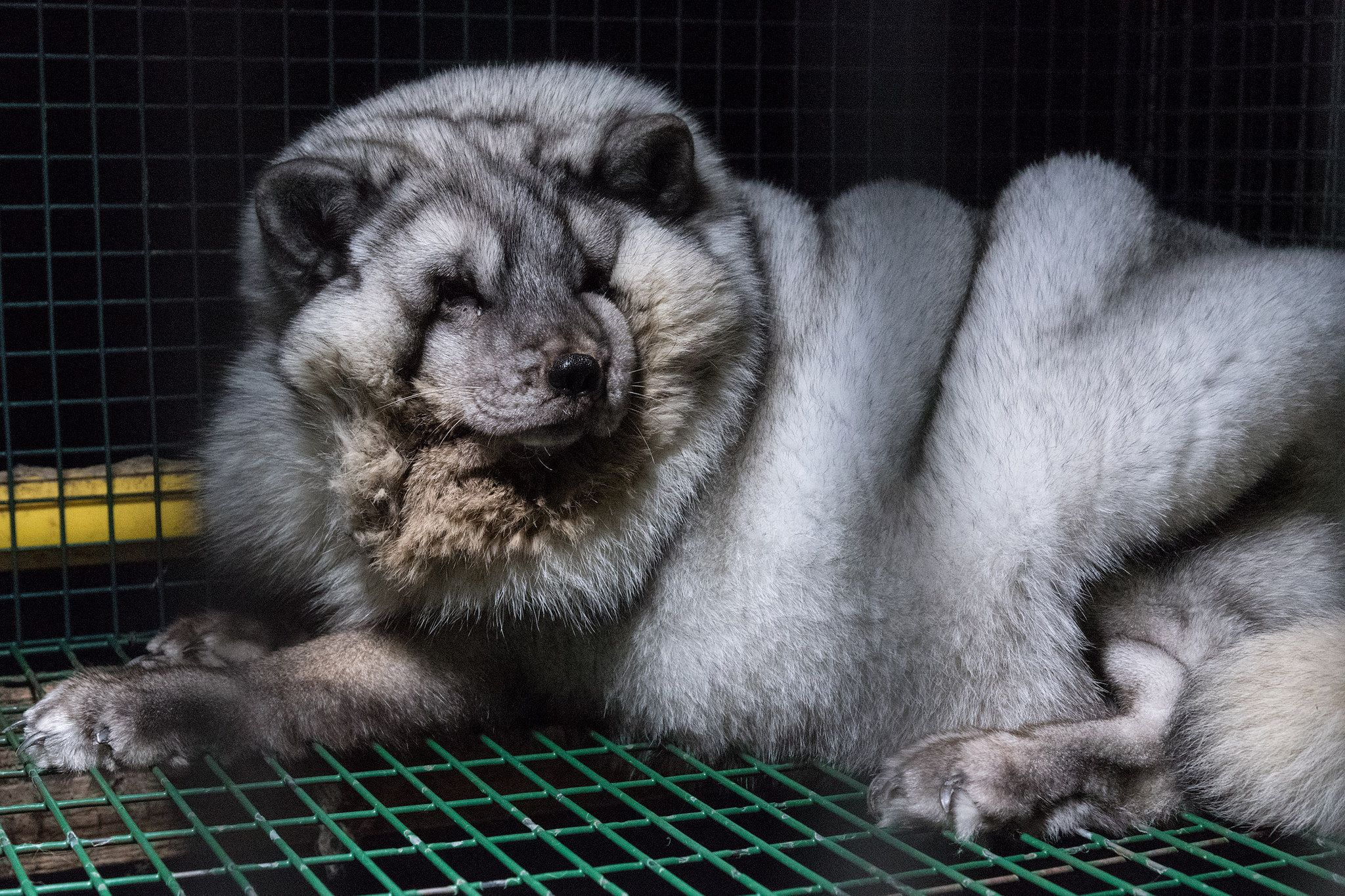 Monster Foxes Caught On Camera At Fur Farms