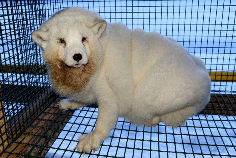 White_Arctic_Fox_Monster