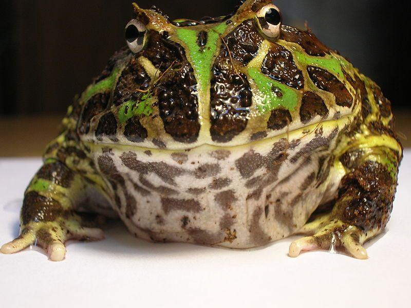 09_21_Argentine_Horned_Frog_(Ceratophrys_ornata)1