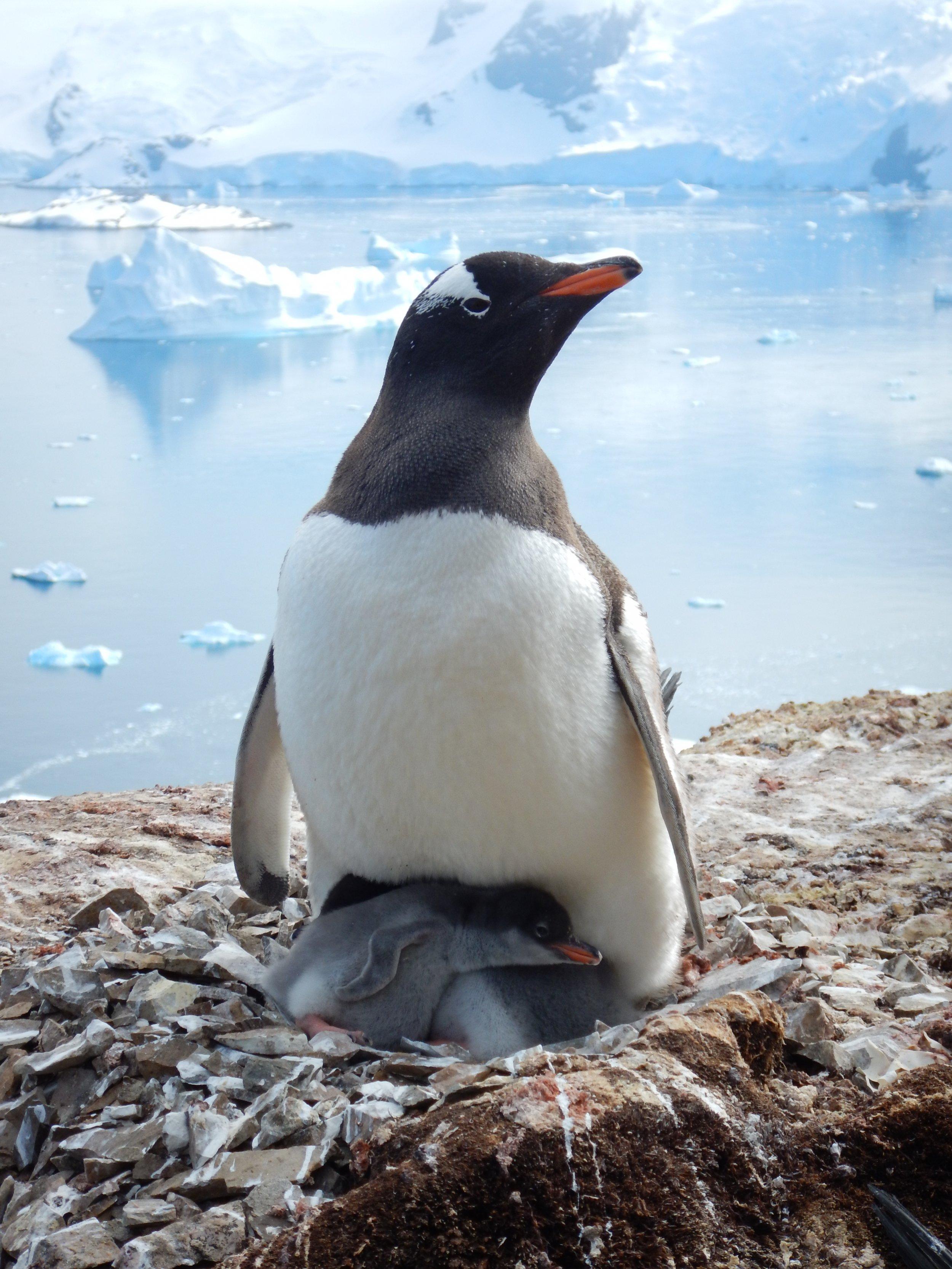 09_26_gentoo_penguin_2