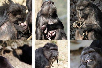 09_27_Cannibal_Monkey