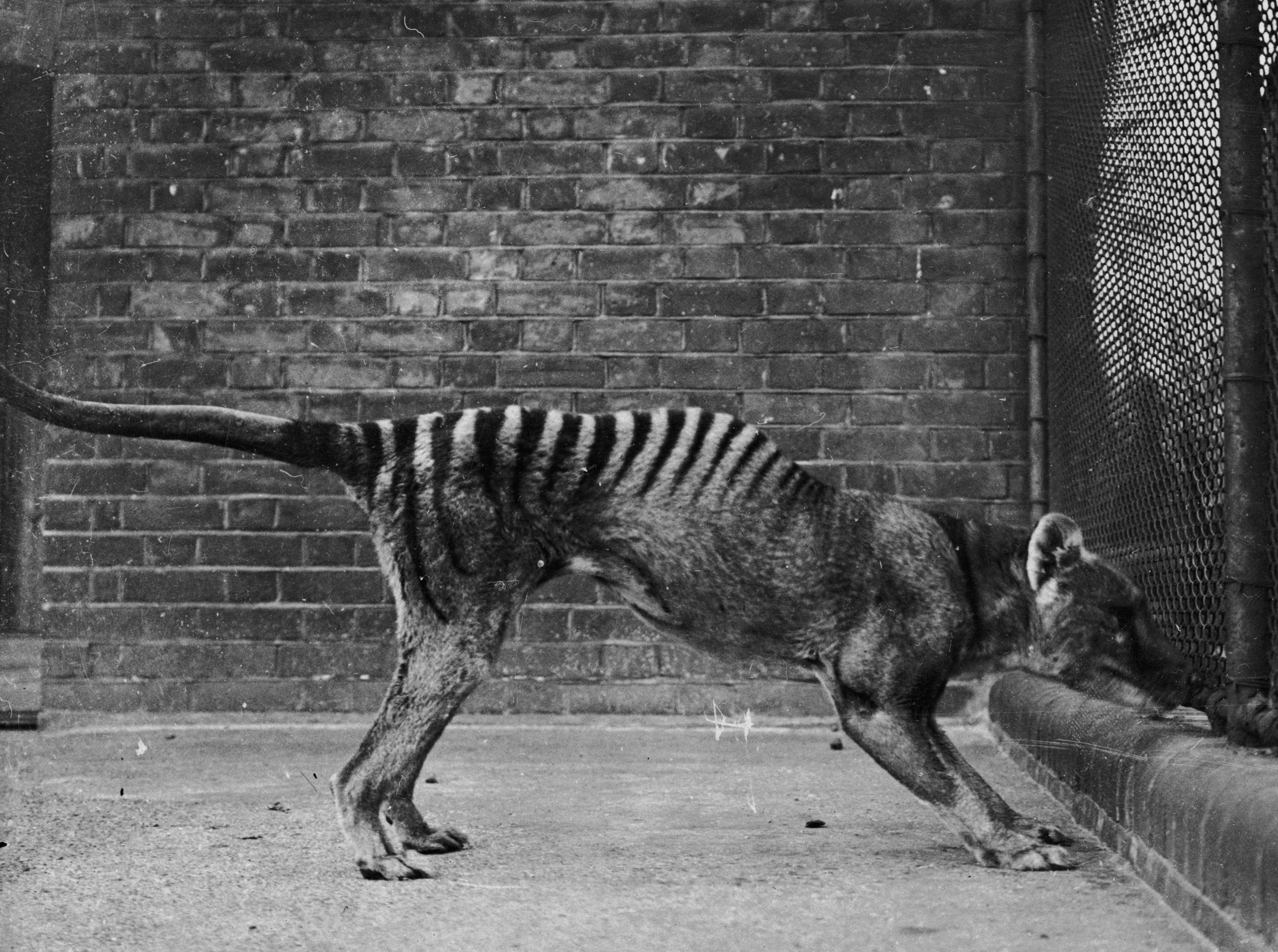 tasmanian tigers killed by climate change in australia before going