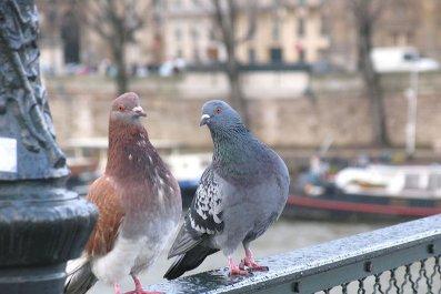 10_02_Paris_Pigeons