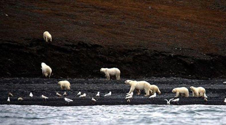 Polar_Bears_Closeup