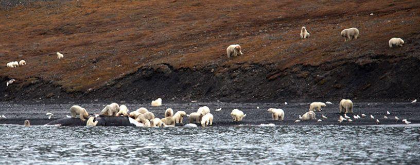 Polar_Bears_Feasting_On_Carcass