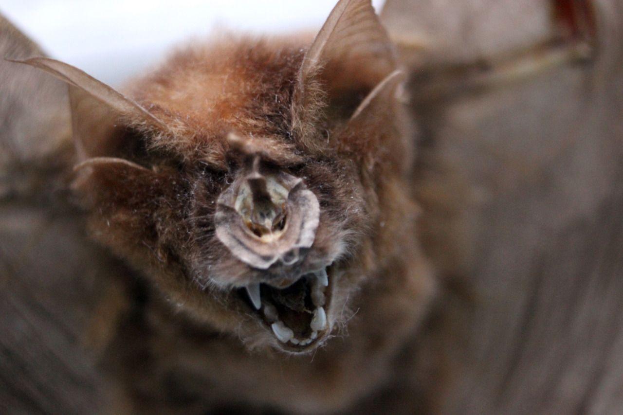Taxidermy_bat_mummy