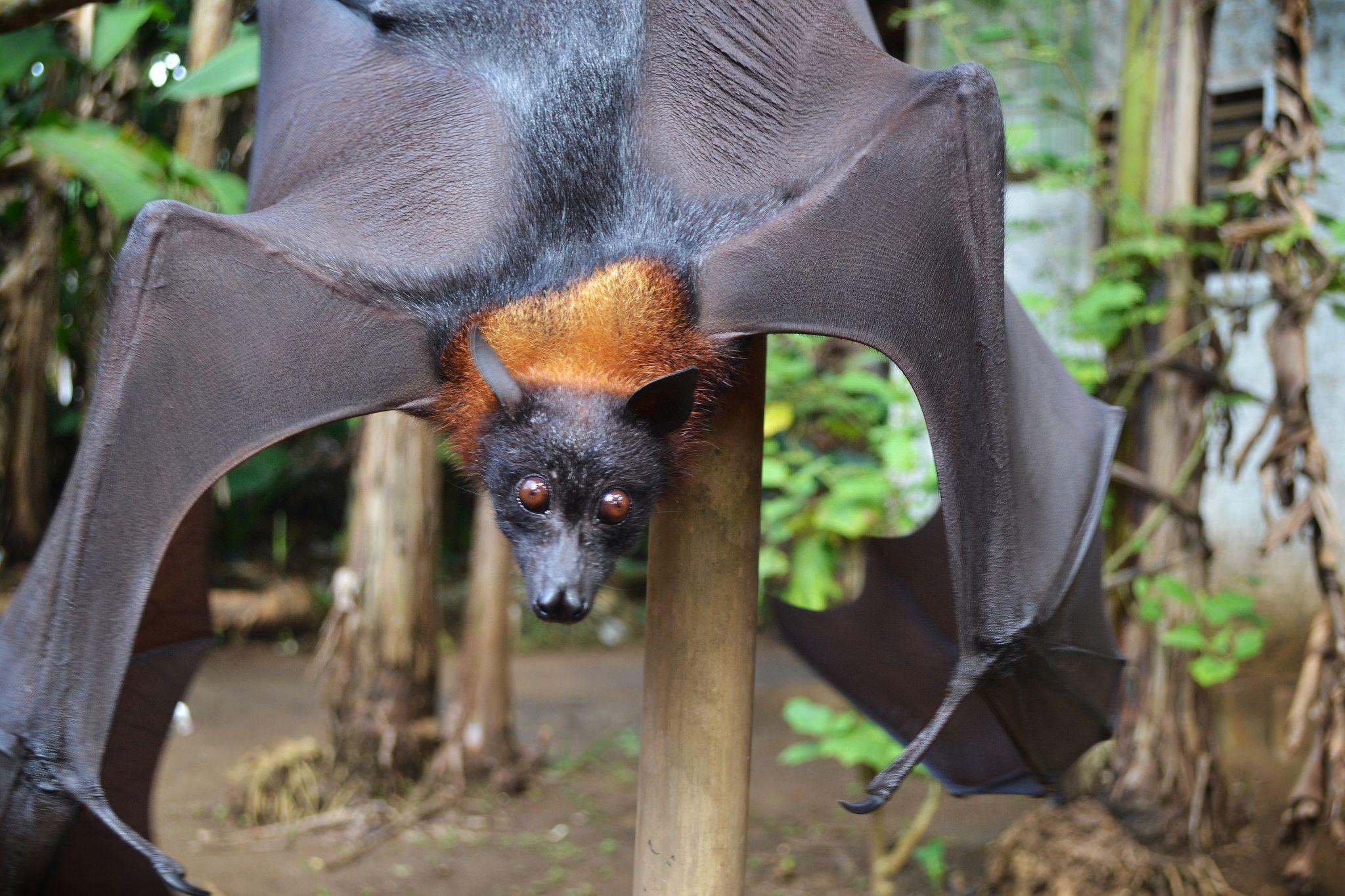 Flying_Fox_Bat