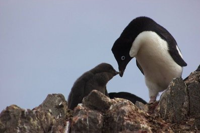Adelie_penguin_with_pup_IMG_1202