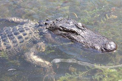 10_17_Alligator
