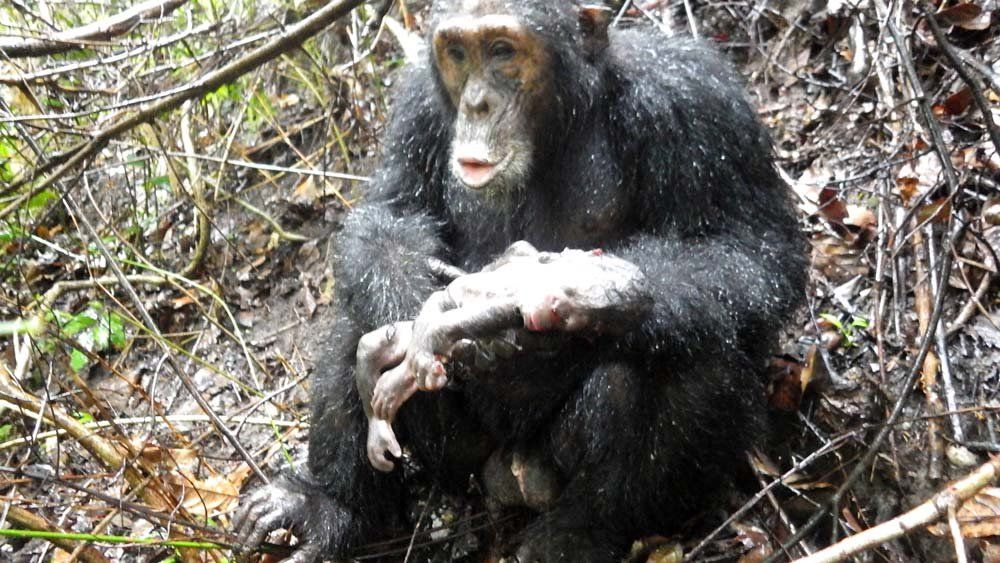 Cannibal Chimp Snatches Newborn and Eats It in First-Ever