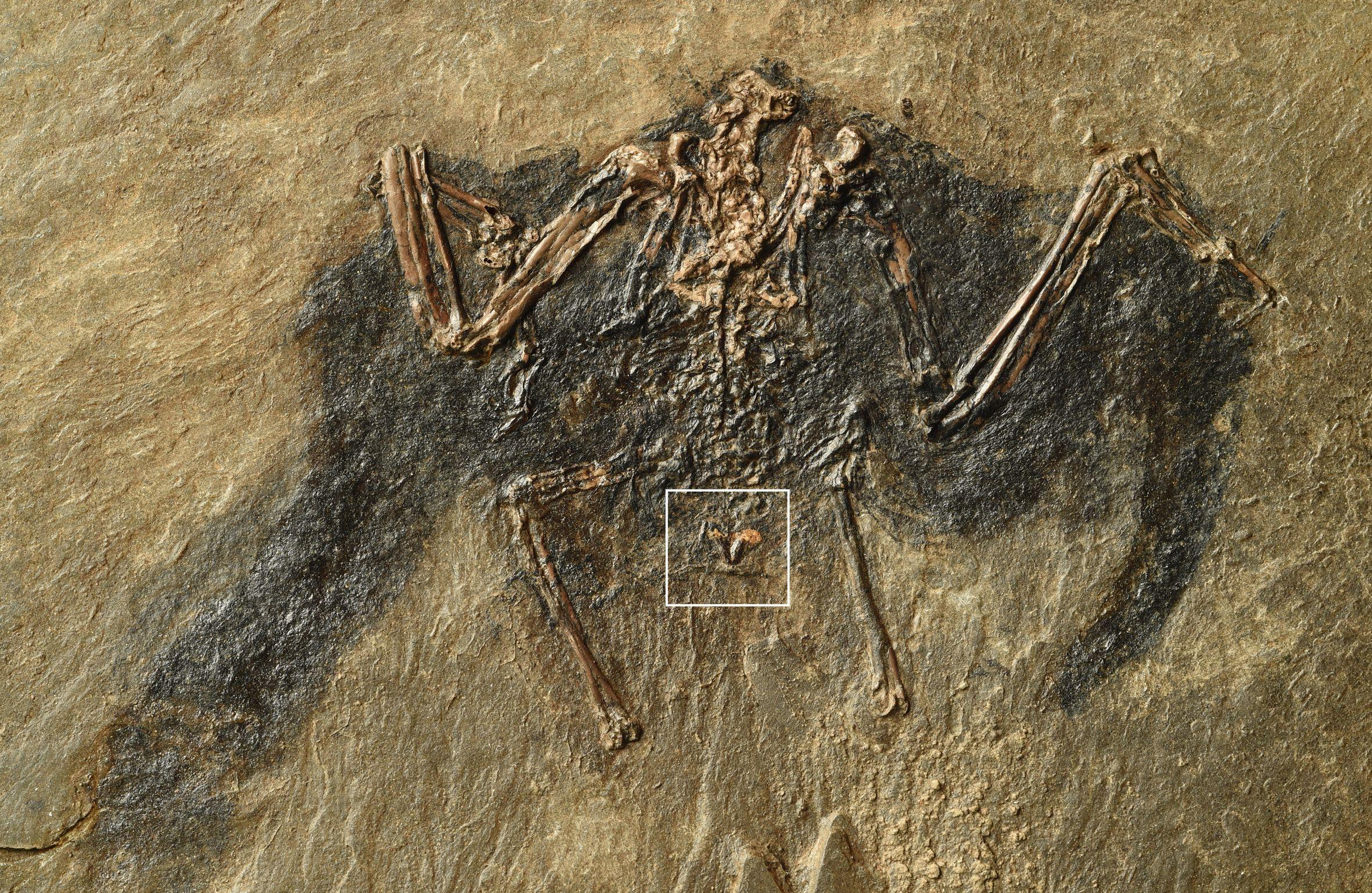 fossil_bird_gland