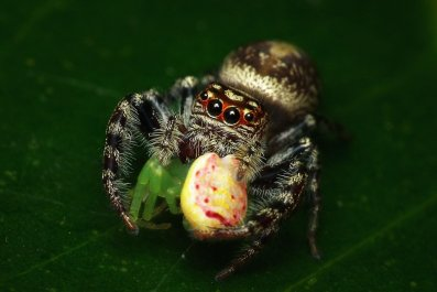 10_18_jumping_spider_australia