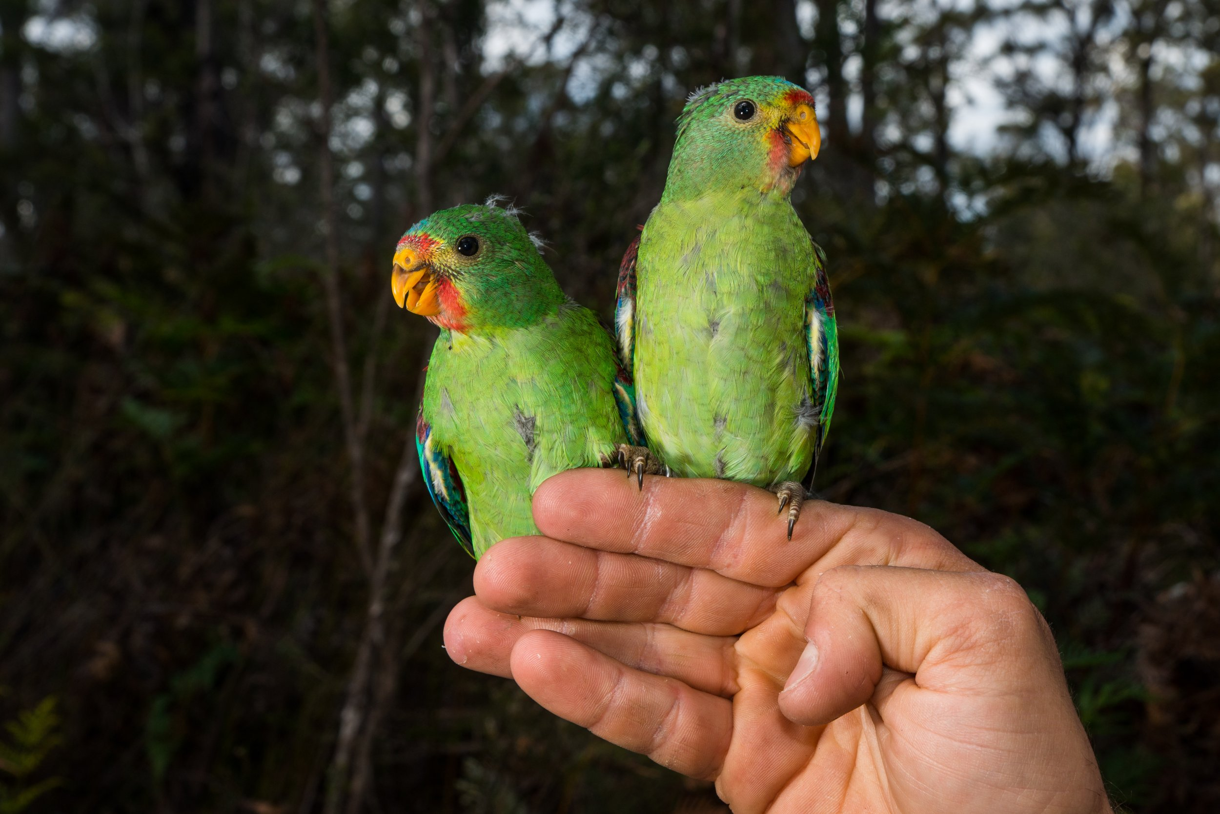 Young Swift Parrots _Photo Henry Cook