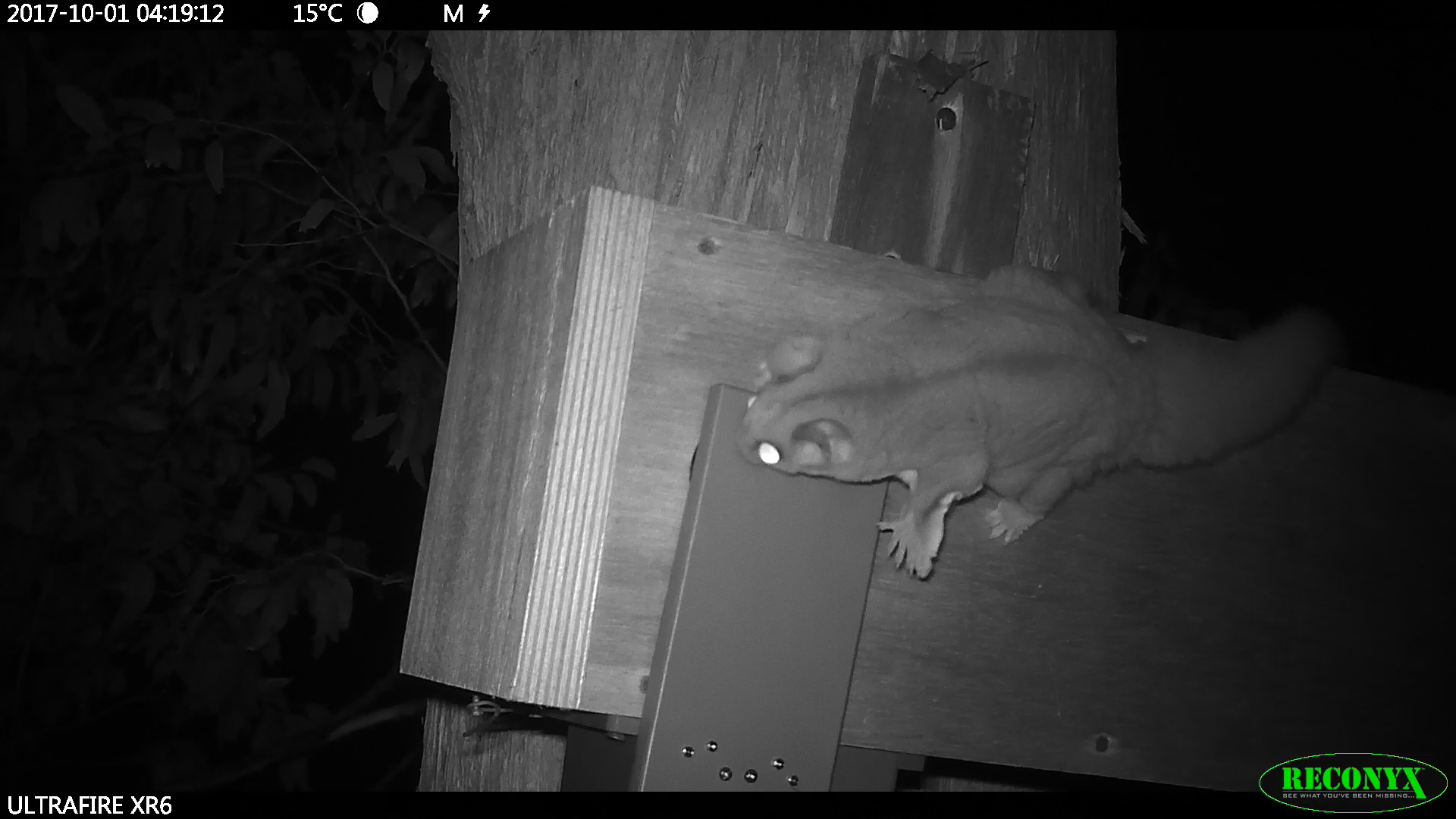 Sugar glider trying to get into nest box_Photo ANU