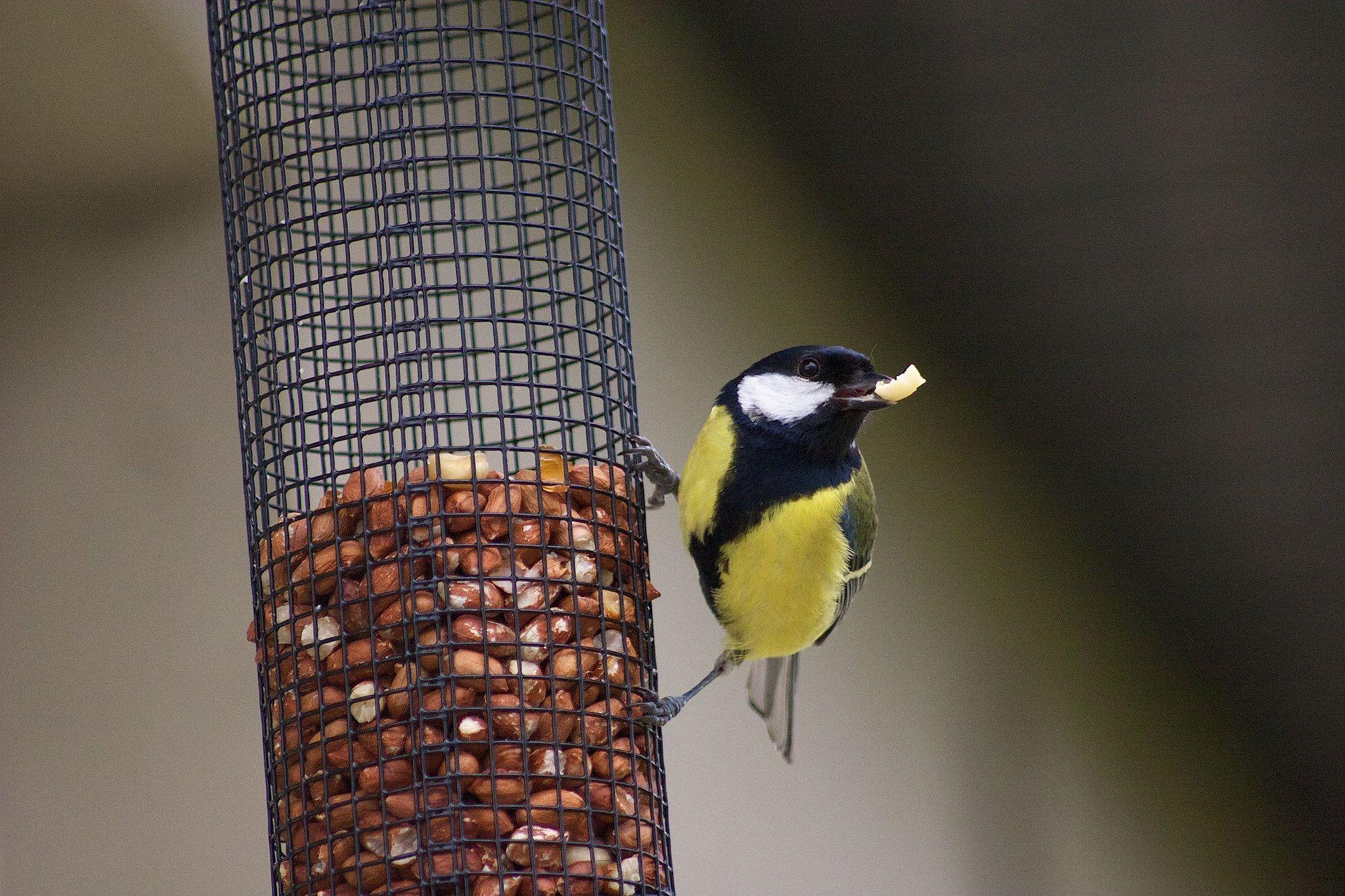 Great_Tit_Bird_at_Birdfeeder