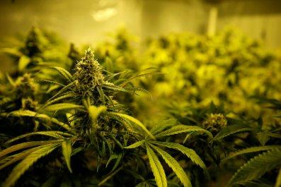 1019_cannabis_potent