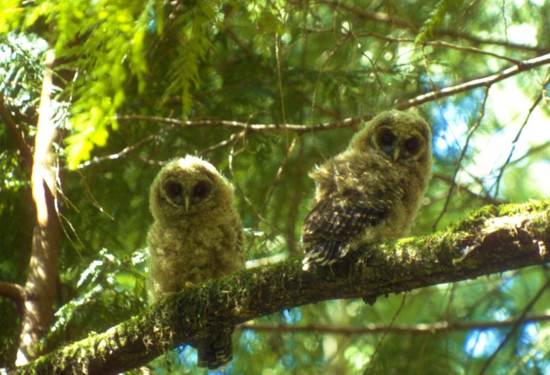 Northern_Spotted_Owl_(8434206254)