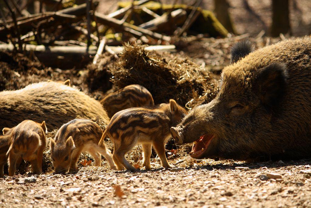Wild_Boar_Mom