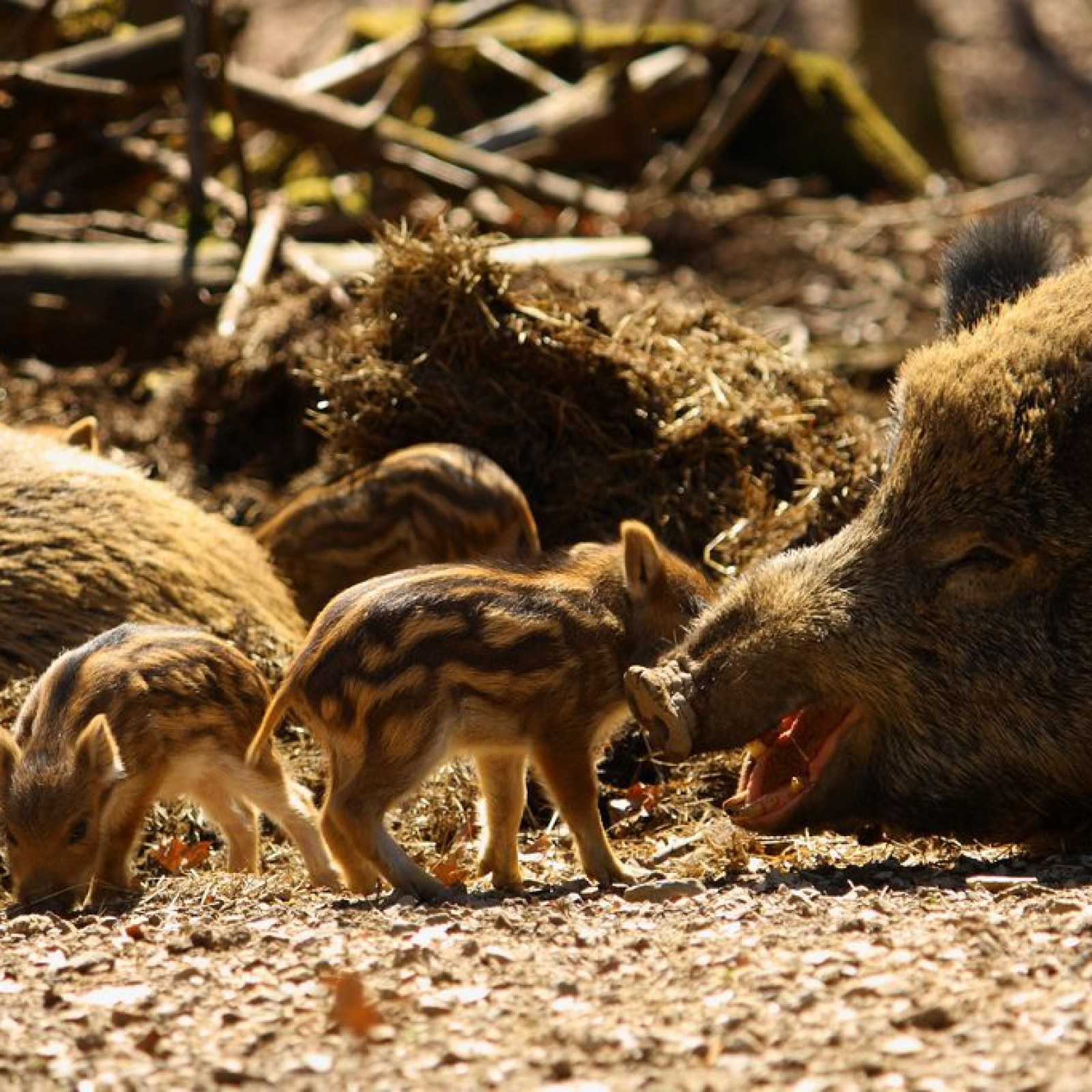 Wild Boars Are Huge and Vicious, German Town Learns After