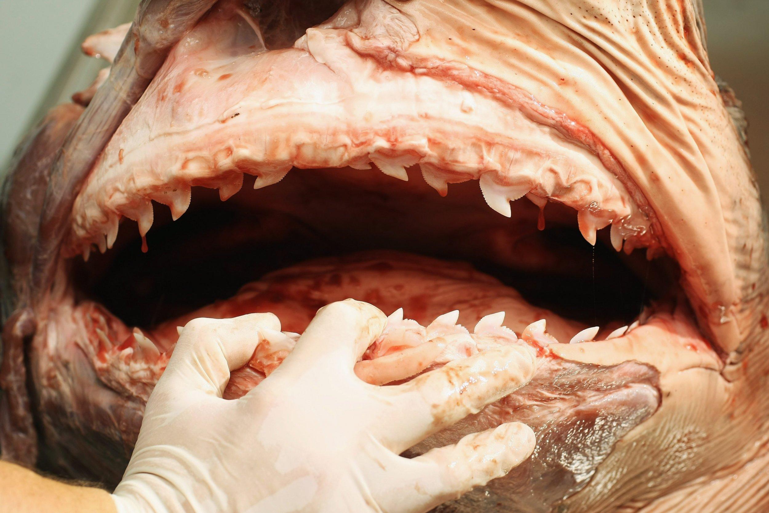 1023_Tiger_shark