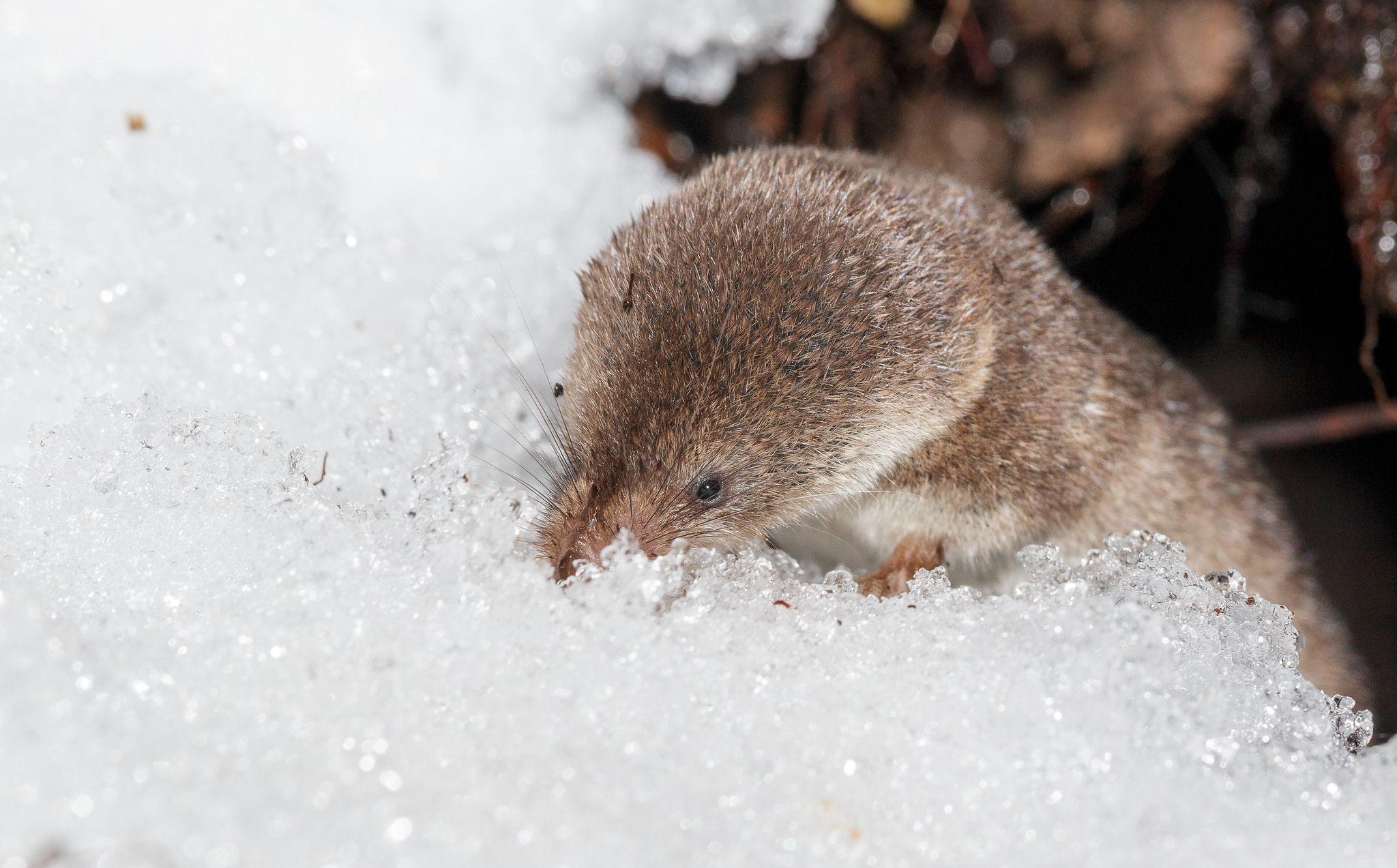 common_shrew_in_snow