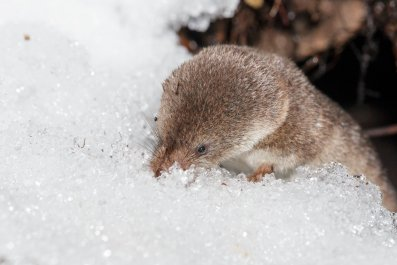common_shrew_in_snow
