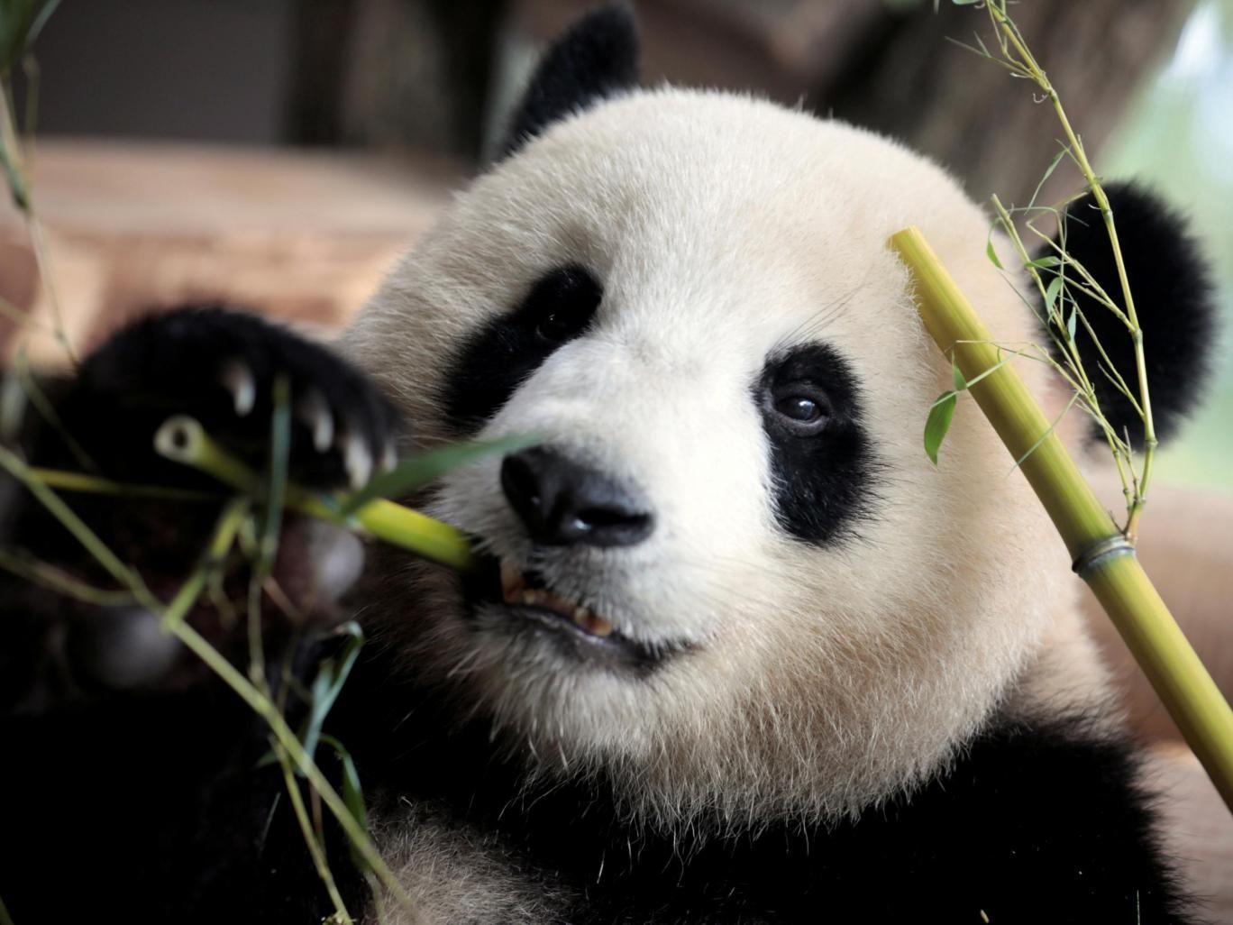 mengmeng_panda