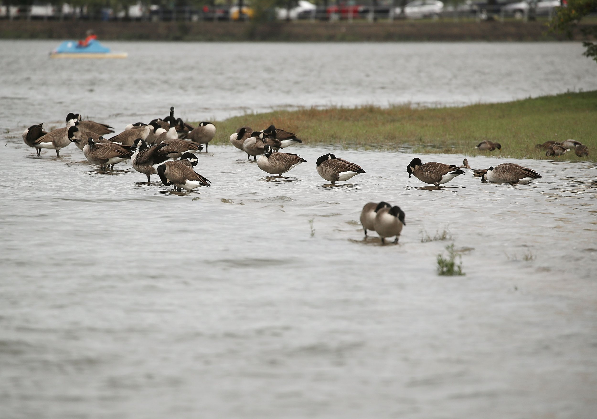 Canada Geese DC