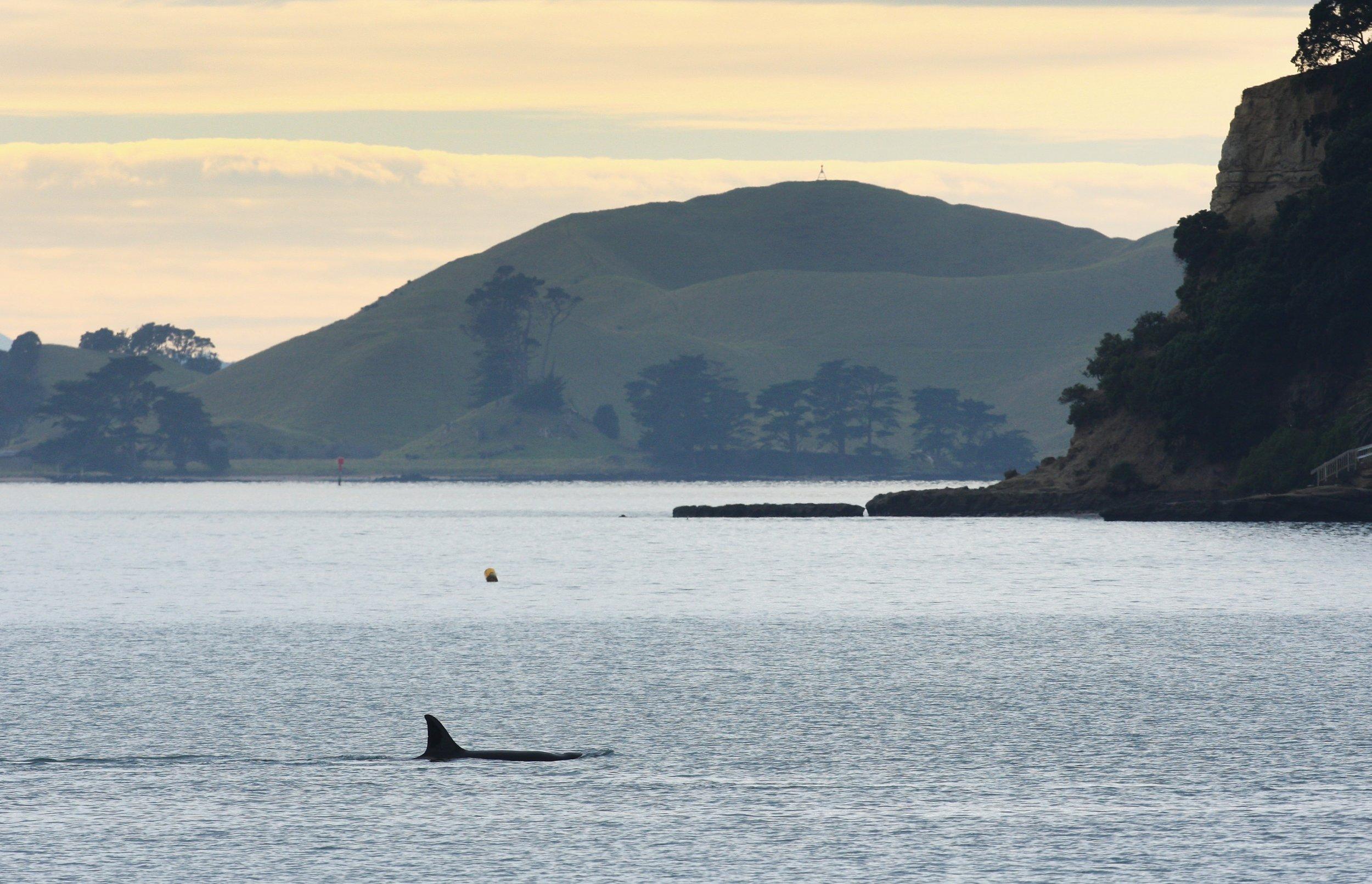 10_24_Killer Whale (2)