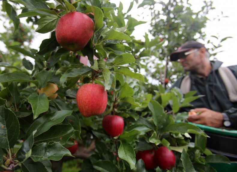 Apple Picking England