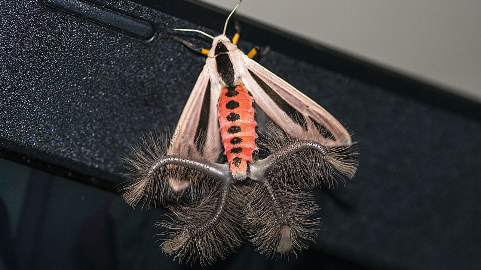 This Moth's Weird Inflatable Butt Is Going Viral, But It Has