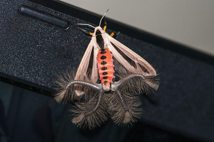 [Image: creatonotos-gangis-moth-coremata.jpg?w=7...e036ad6955]