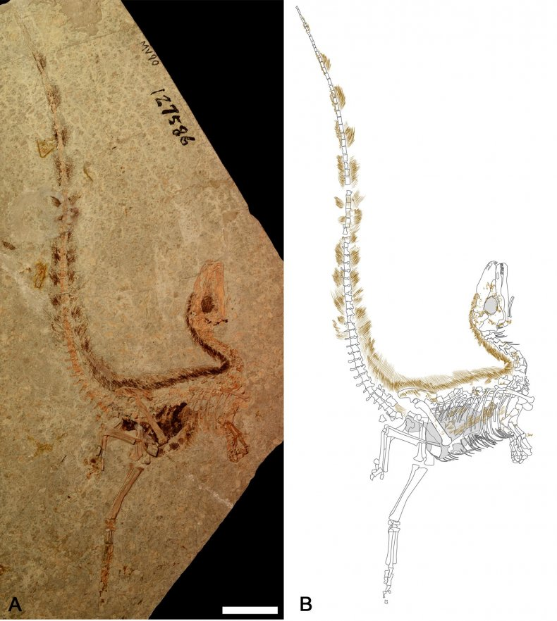 10_25_sinosauropteryx_fossil_drawing