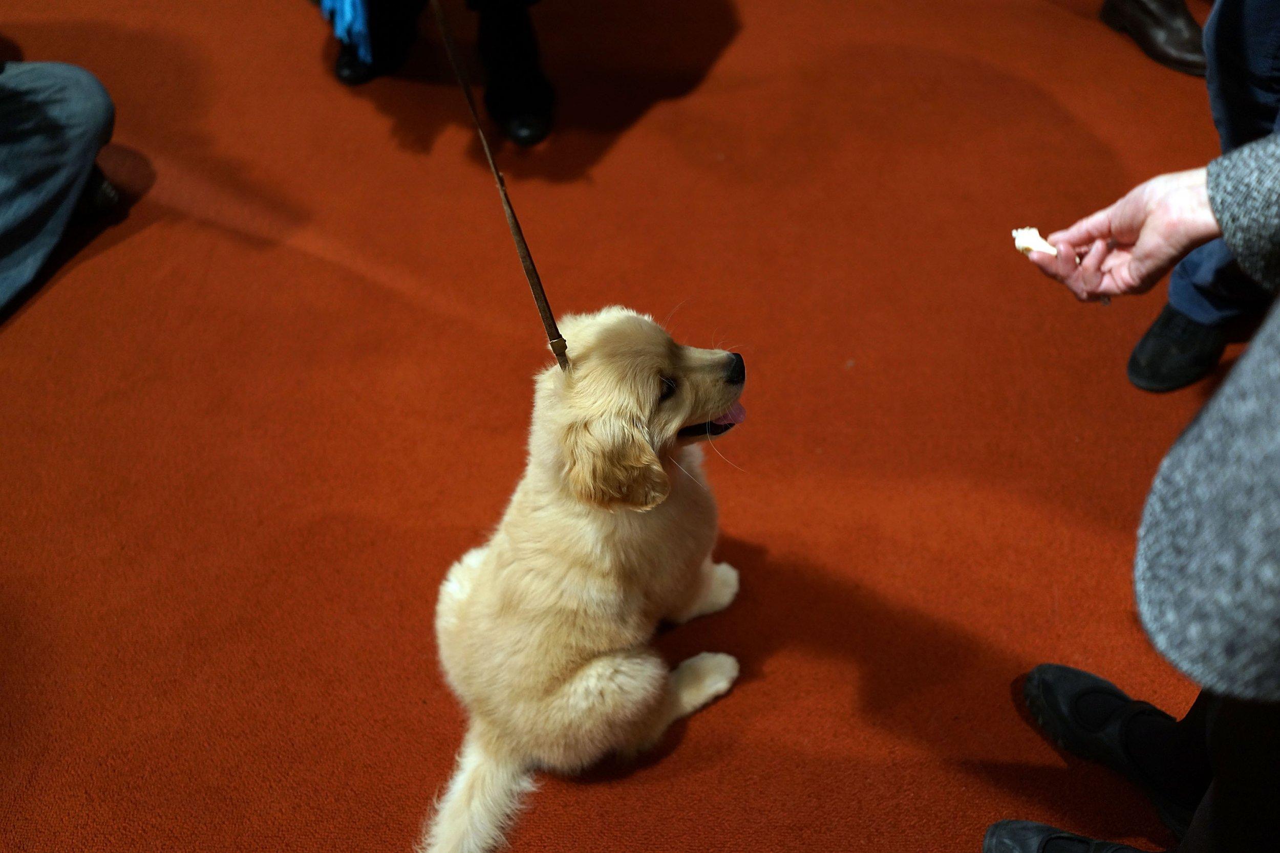 10_26_Yellow Lab Puppy