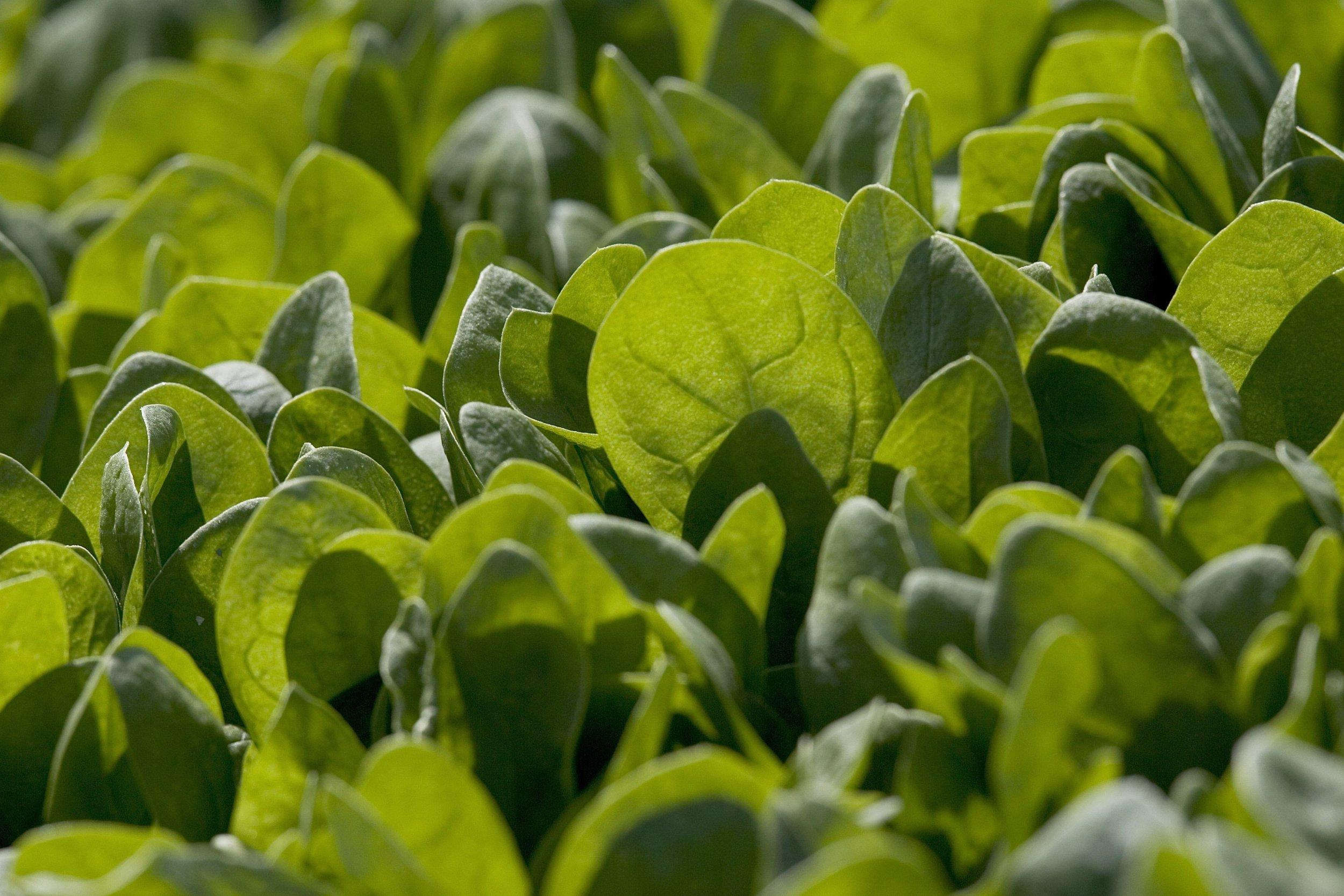 Baby Spinach Fertility