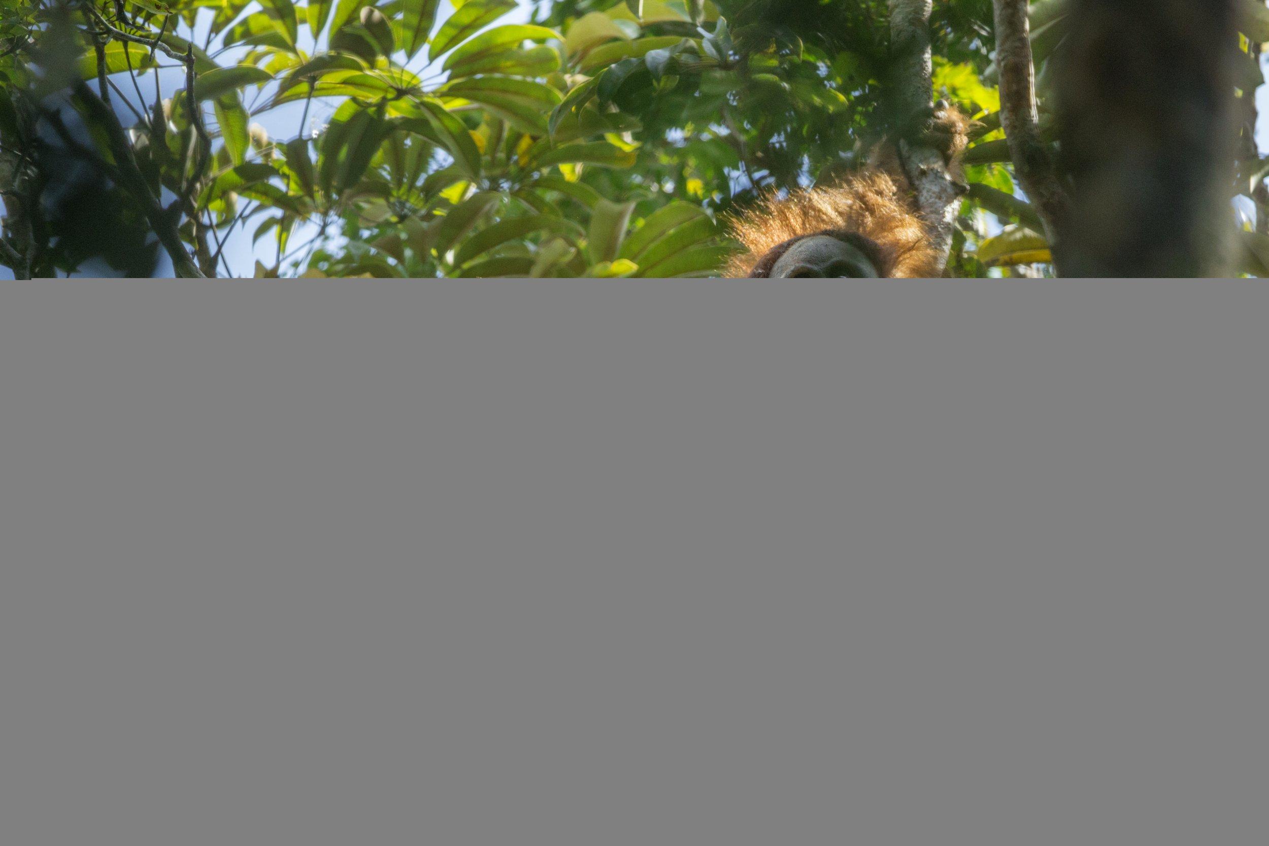 Tapanuli_Orangutan