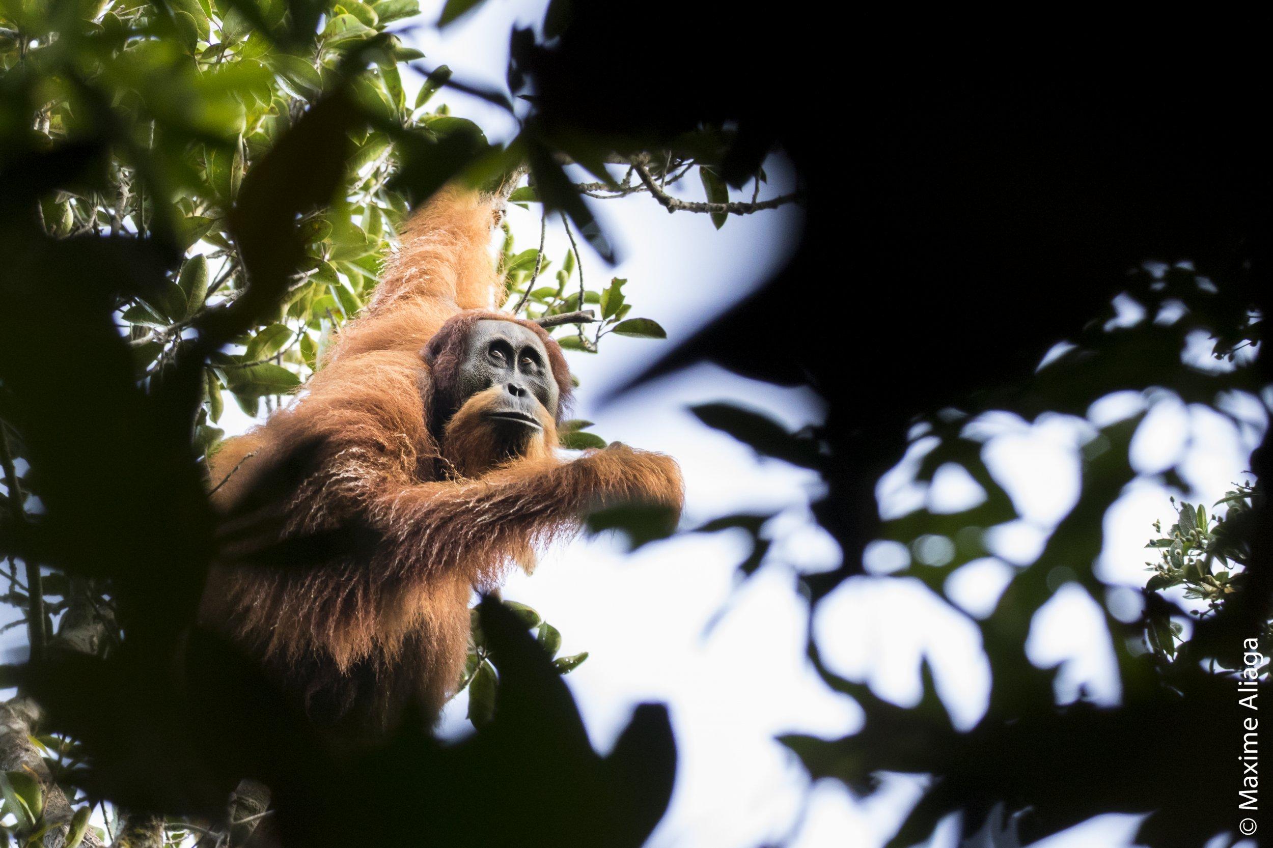 Orangutan_in_tree