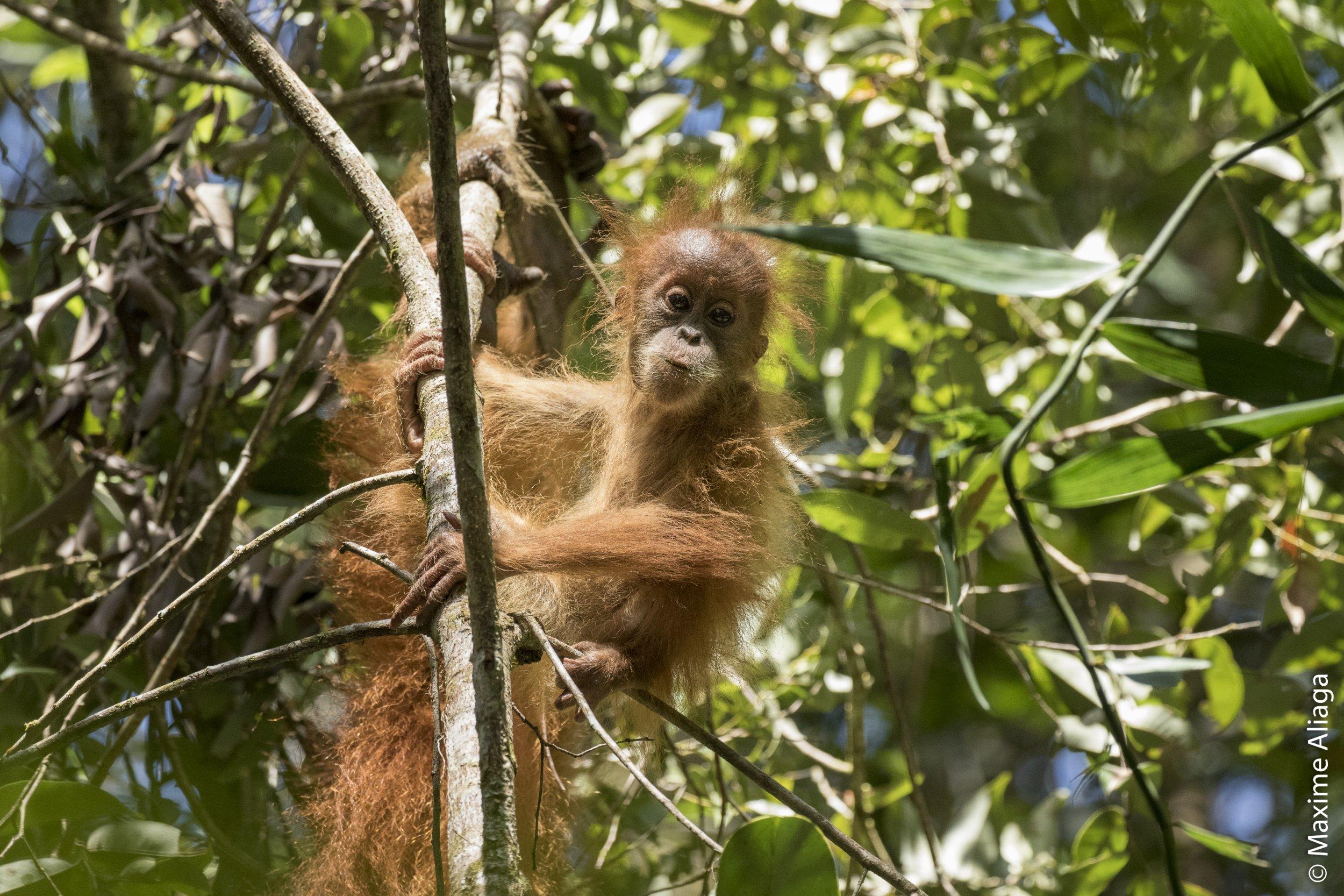 Baby_orangutan