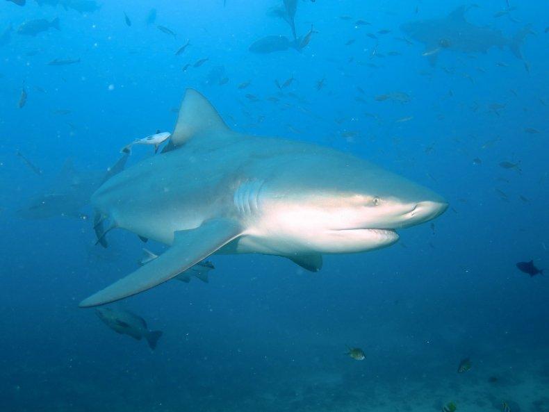 11_02_bull shark