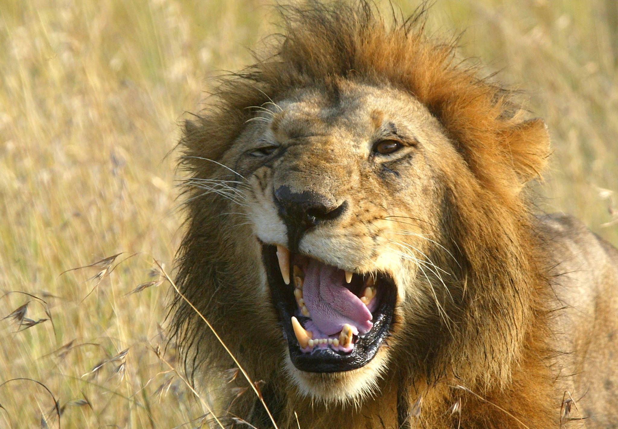 1103_Kenya_lions