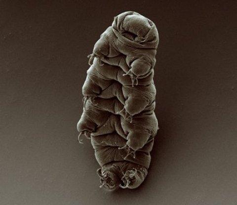 11_03_water_bear_tardigrade