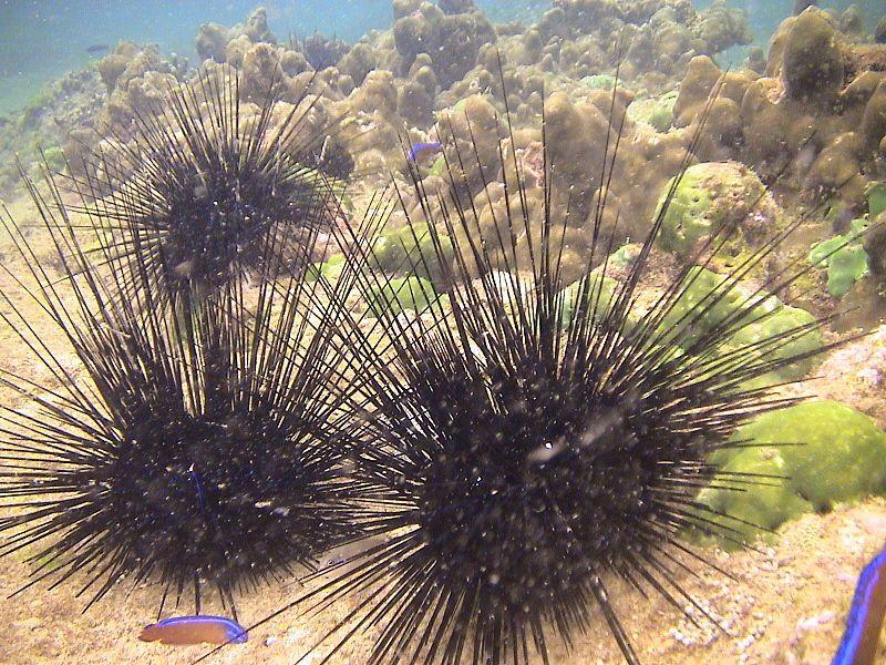 11_08_Sea_Urchins