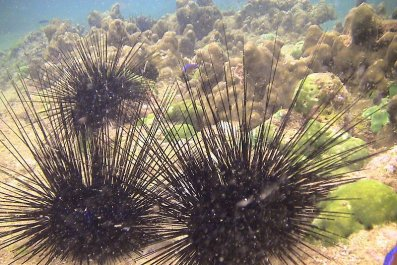 11_08_Sea_Urchins