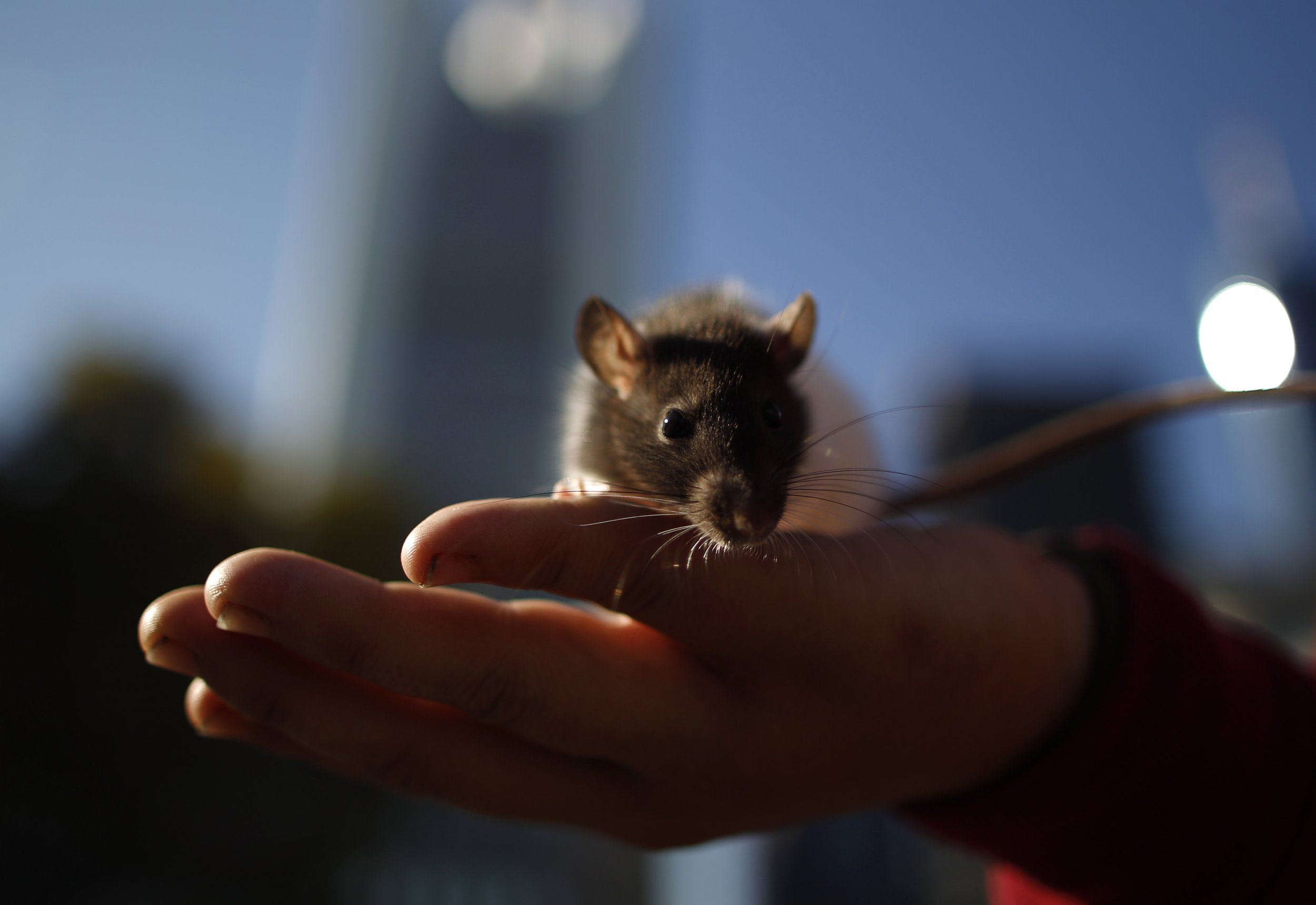 Tiny Bits of Human Brain Implanted Into Rats Raises Huge Ethical Debate