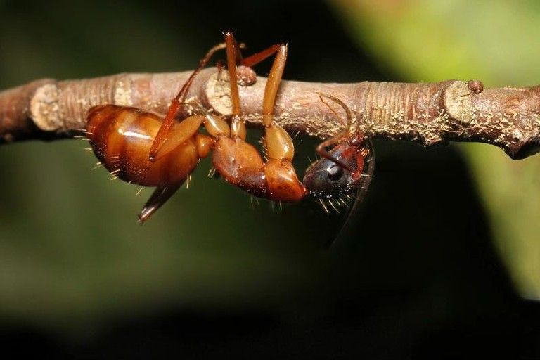 Zombie ant biting behavior (Kim Fleming)
