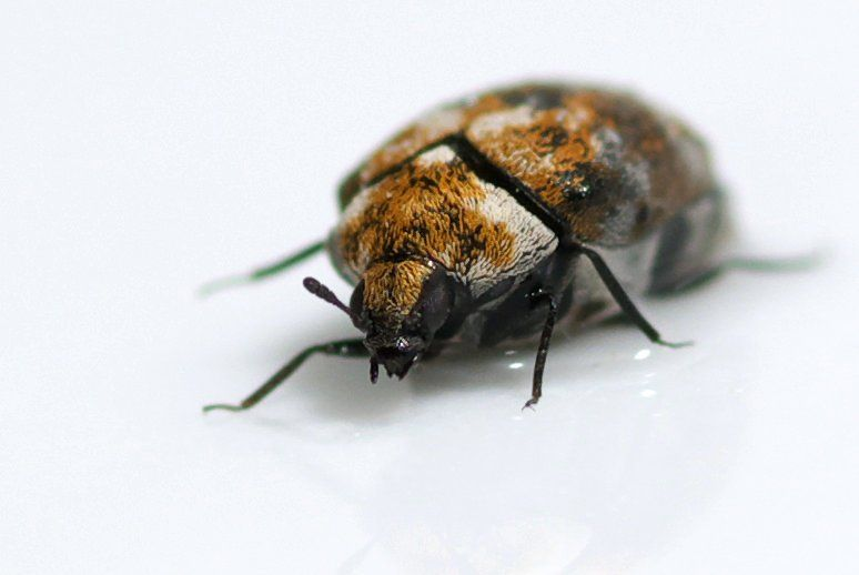 A Carpet Beetle. You May Want To Learn To Embrace Your Indoor Insectsu2014or  Move. Jean Raphaël Guillaumin On Flickr