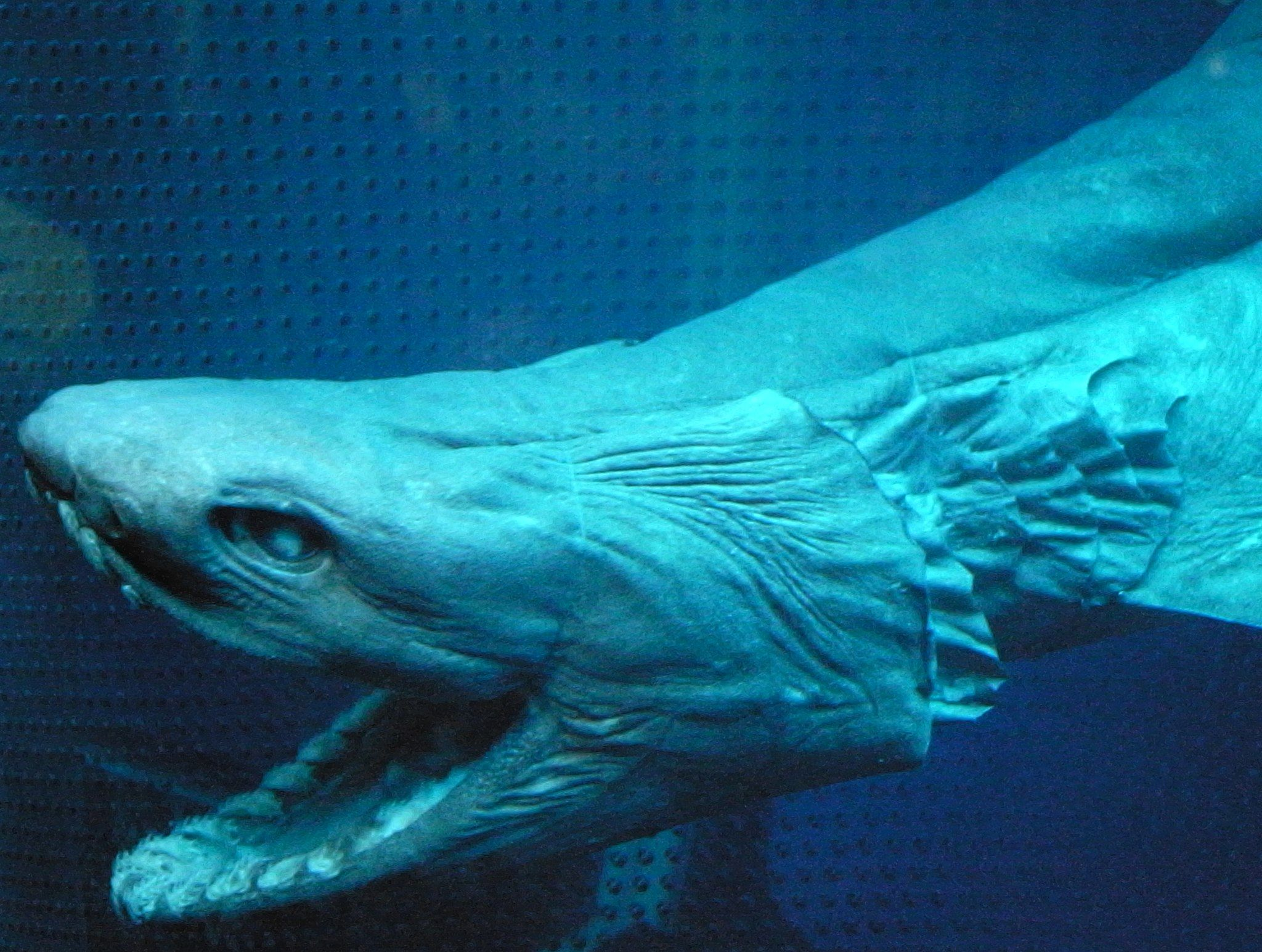 11_10_Frilled_shark_head2