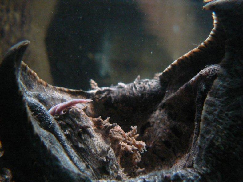 Alligator_Snapping_Turtle_vermiform
